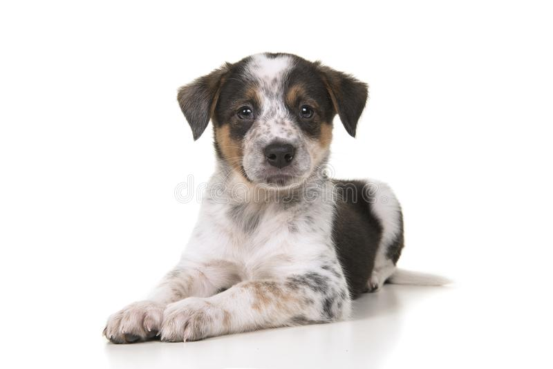 Cute australian shepherd australian cattle dog mix puppy lying d. Own looking at the camera on a white background royalty free stock images