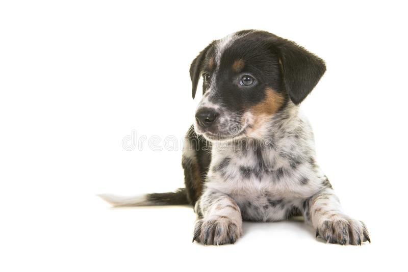 Cute australian shepherd australian cattle dog mix puppy lying d. Own looking to the left on a white background stock images