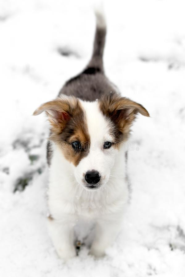 Cute Australian Shepherd mixed-breed puppy in the snow. Looking to the viewer stock images