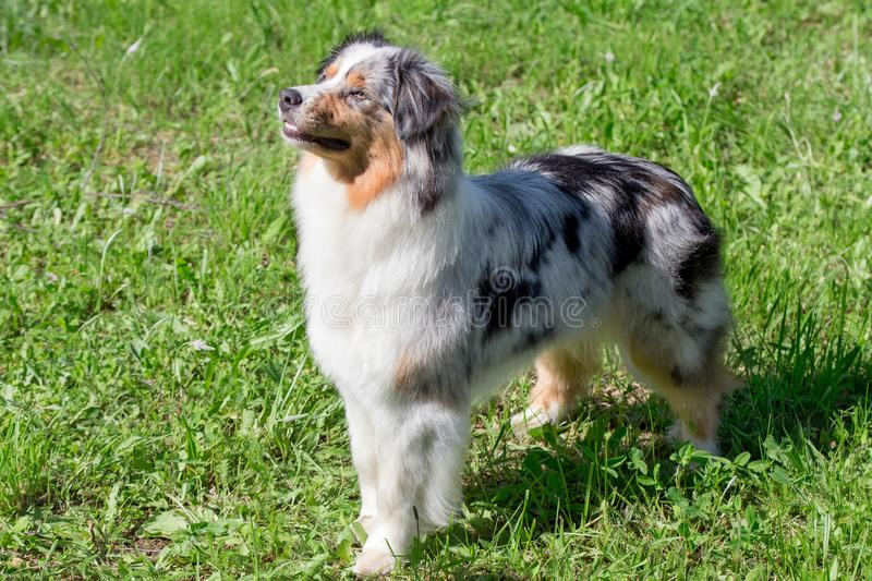 Cute australian shepherd puppy is standing on a green grass in the park. Pet animals stock photography
