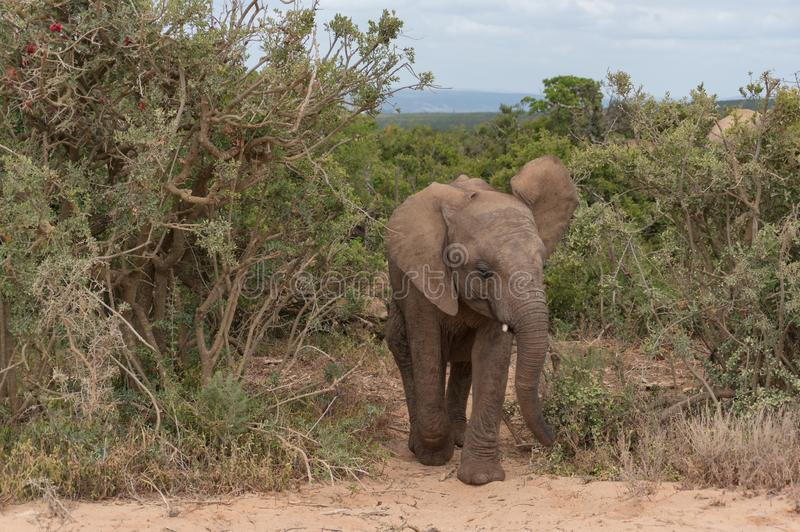 Cute baby African elephant walking in bushveld. Baby African elephant walking in bushveld. Safari game drive in South Africa royalty free stock photo