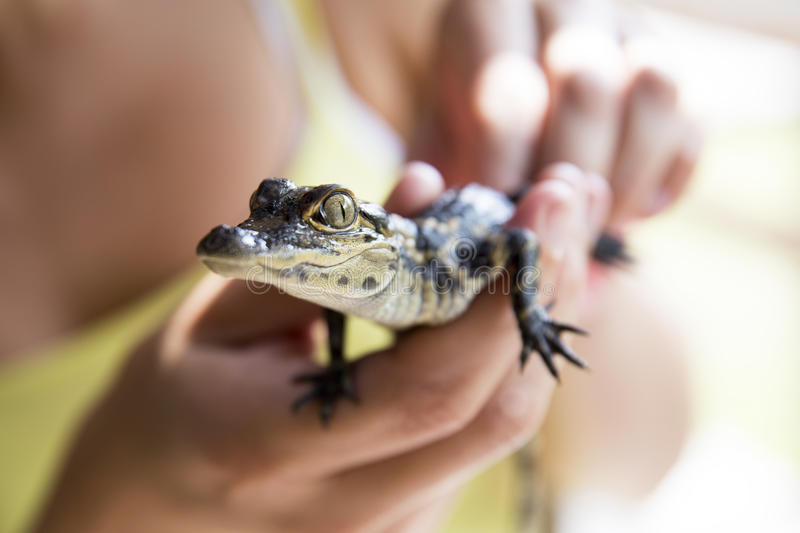 Cute baby alligator. stock photography