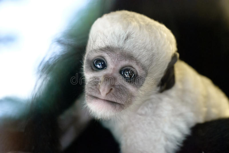 Cute baby black and white Colobus monkey. Prague Zoo royalty free stock photos