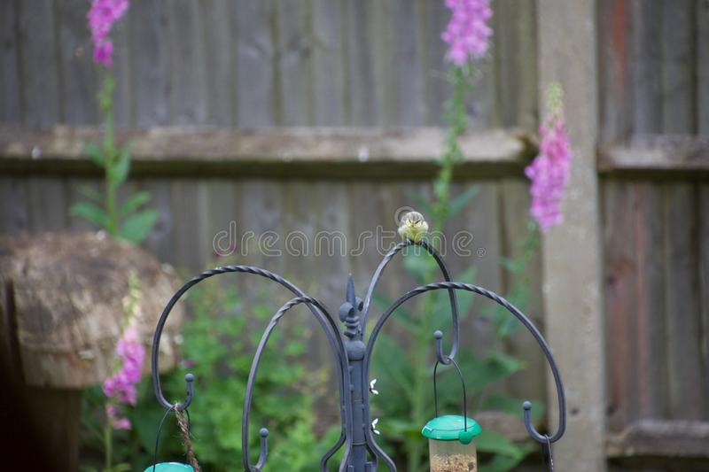 Cute baby blue tit in an English garden. A baby blue tit on a bird feeder in an English country garden. The tiny bird chick waits patiently to be fed stock photography
