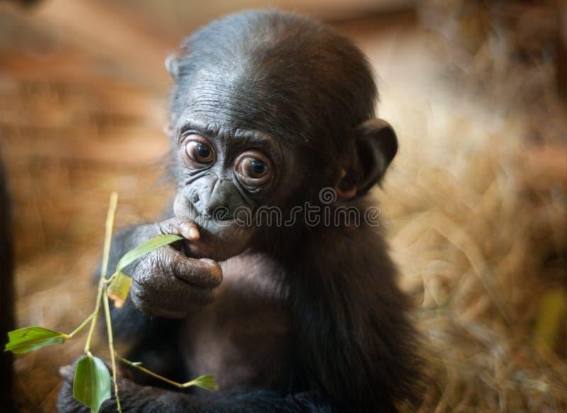 Cute baby Bonobo monkey. (Pan paniscus stock image