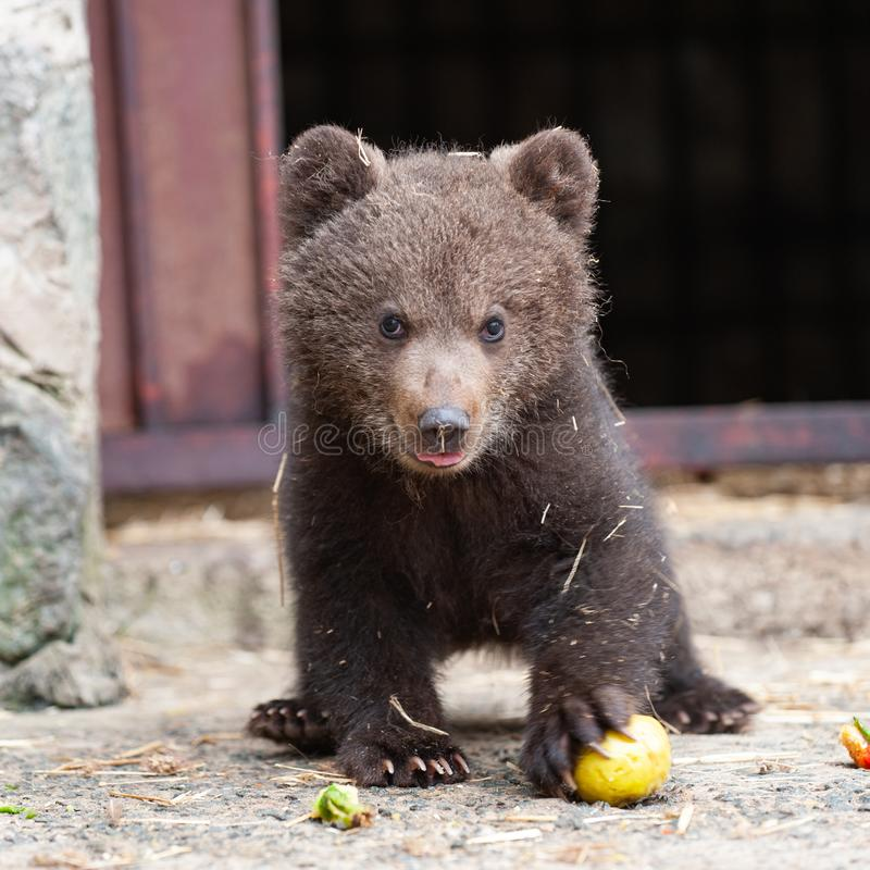 Cute baby brown bear in zoo. Bear stands and looks at the camera.  stock photos