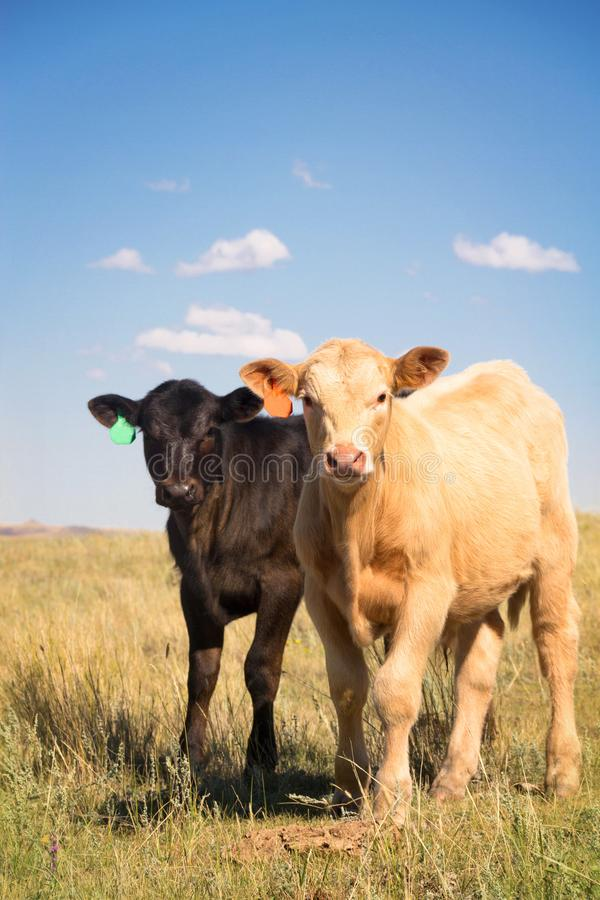 Cute Baby Calves together in a Pasture. A cute little Palomino Charolais crossbred calf and a black Angus calf standing out in a summer pasture together royalty free stock image