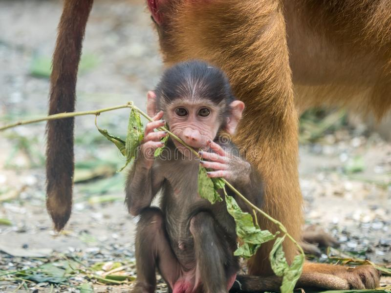 Cute Baby Chacma Baboon stock images
