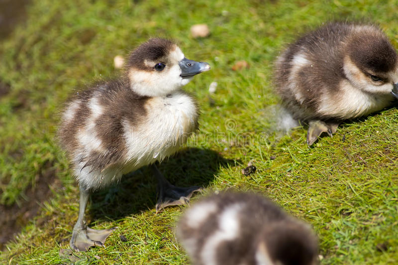 Cute baby chick. Egyptian goose gosling. Adorable baby animal. royalty free stock image