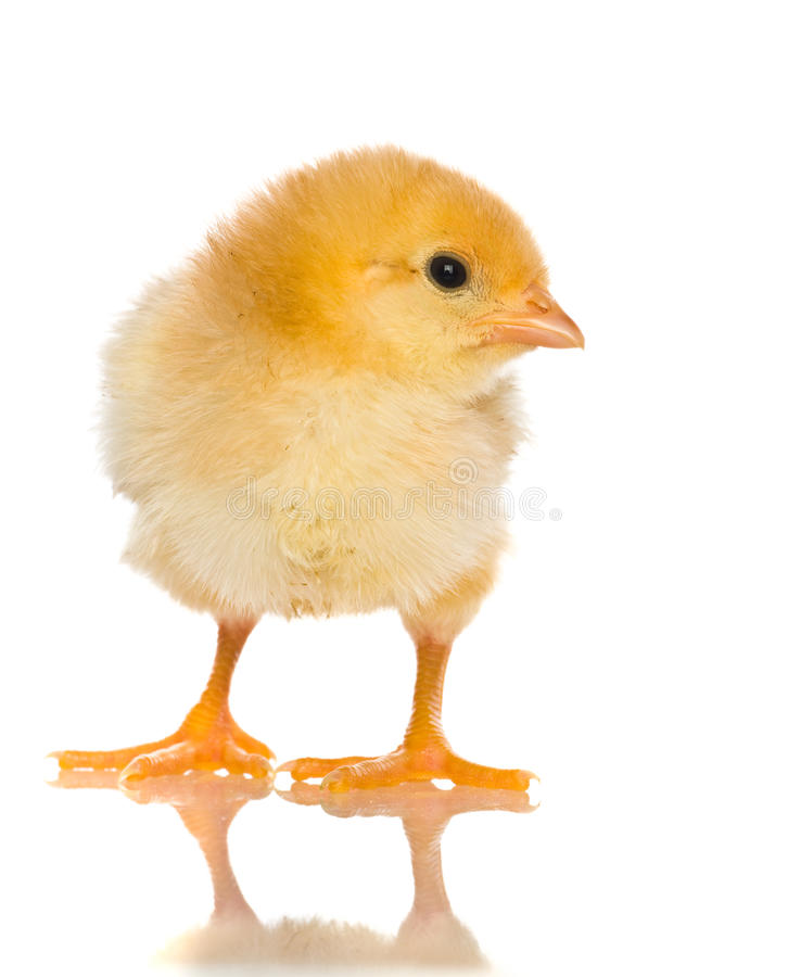 Cute baby chicks royalty free stock photography