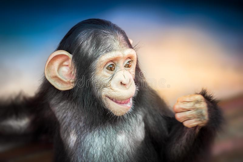 Cute baby chimpanzee. Portrait of cute baby chimpanzee on blurred background stock photography