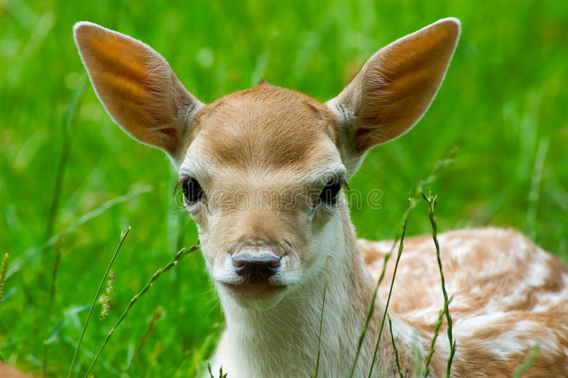 Download Cute baby deer stock photo. Image of animal, grass, brown - 3087824