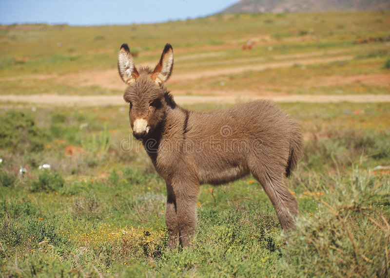 Download Cute Baby Donkey Stock Image Of Farm South Africa