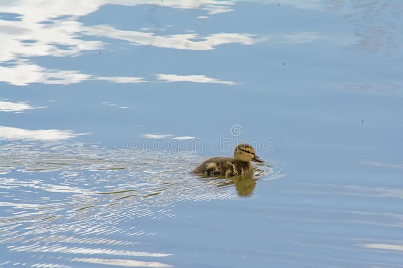 Cute baby duck swimming in the pond with reflections of the sky. Cute baby duck swimming in the rippling water with reflections of the blue sky with clouds royalty free stock image
