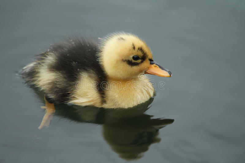 A cute baby Duckling Anas platyrhynchos swimming on the water. A cute baby mallard duckling swimming on the water royalty free stock image