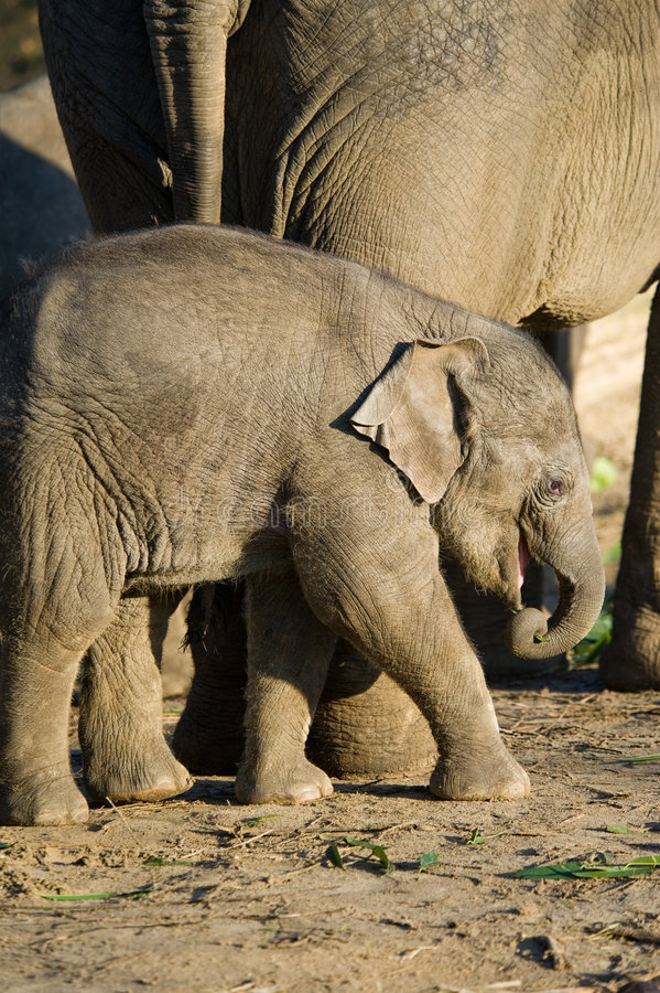 Download Cute baby elephant stock image. Image of ears, power, cute - 7336205