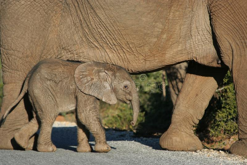 Cute Baby Elephant Walking Royalty Free Stock Images