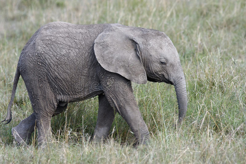 Cute baby elephant walking in the grass on the African savannah royalty free stock photography