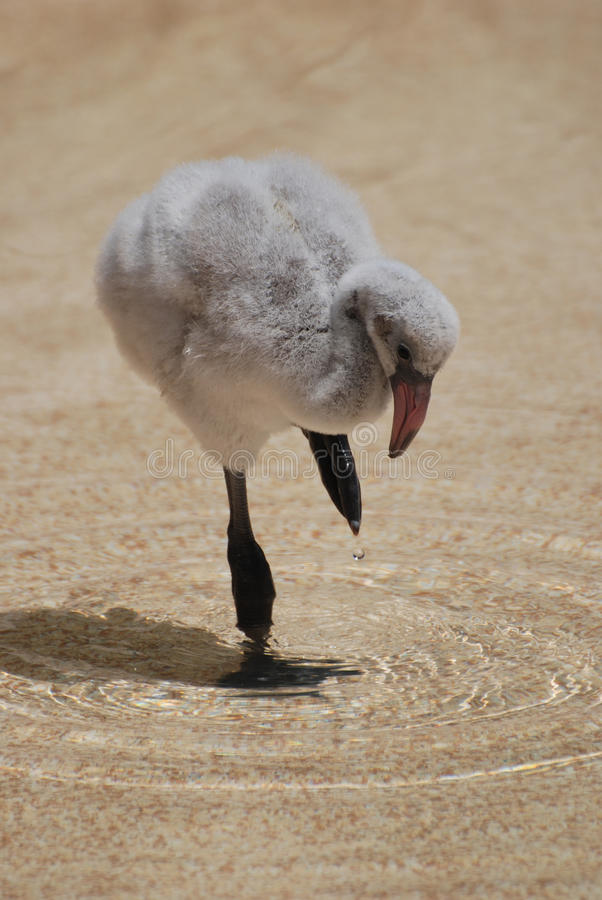 Really Cute Baby Flamingo royalty free stock images