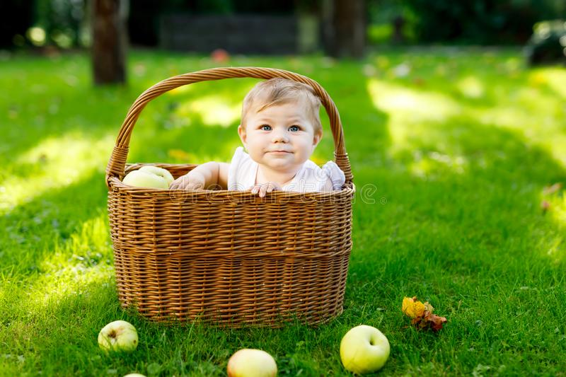 Cute baby girl sitting in basket full with ripe apples on a farm in early autumn. Little baby girl playing in apple tree. Orchard. Kids pick fruit in a basket royalty free stock images