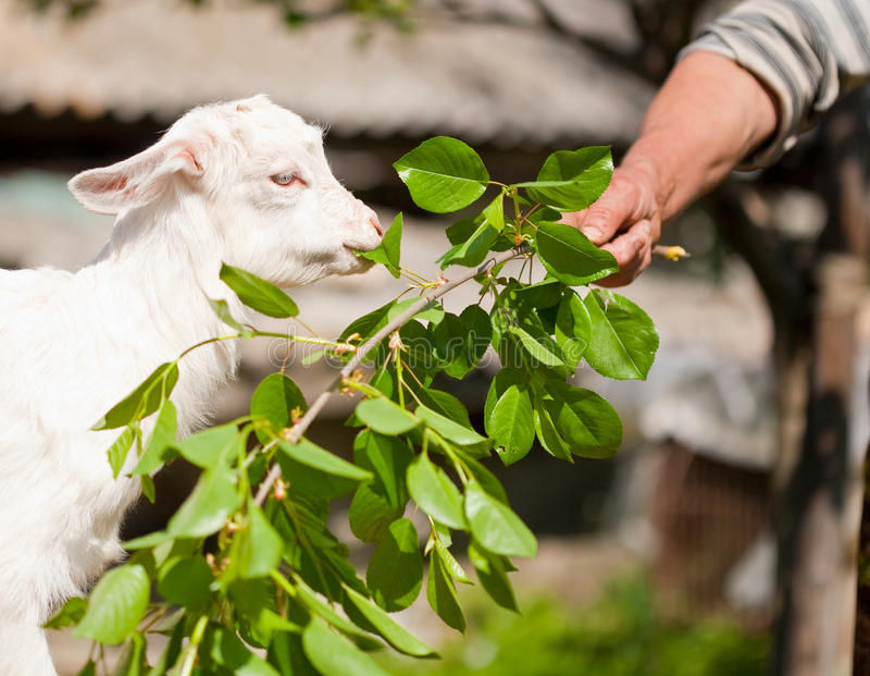 Cute baby goat eating royalty free stock images