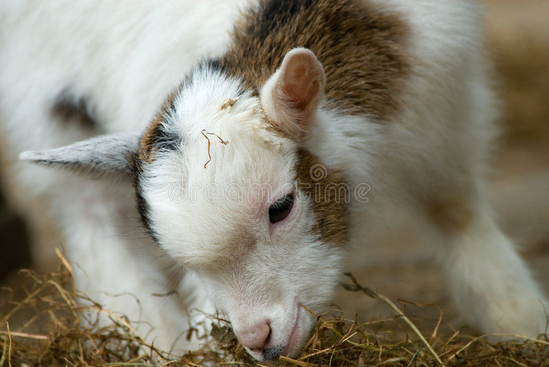 Cute baby goat in spring royalty free stock photo