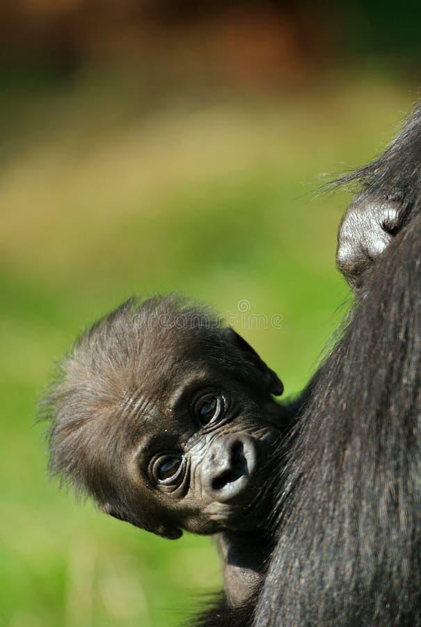 Cute baby gorilla royalty free stock photos
