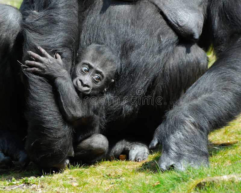 A cute baby gorilla royalty free stock photography