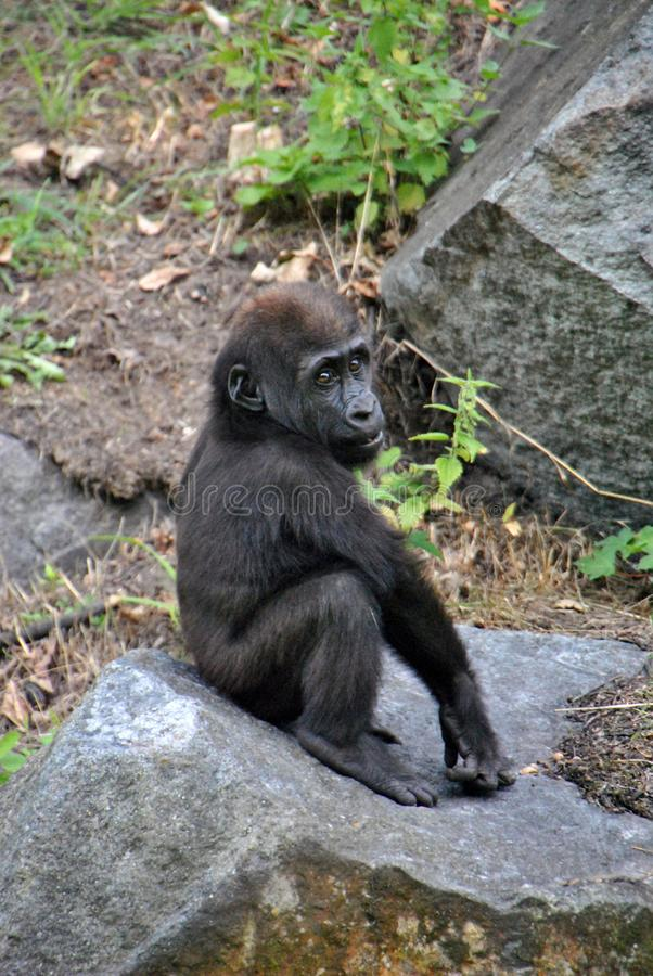 Cute baby gorilla playing on a rock royalty free stock photo