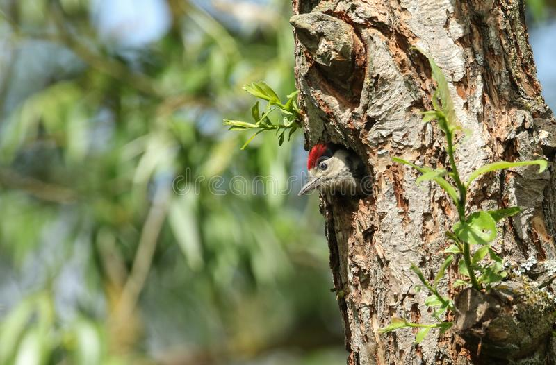 A cute baby Great spotted Woodpecker, Dendrocopos major, poking its head out of its nesting hole in a Willow tree. It is waiting f stock image