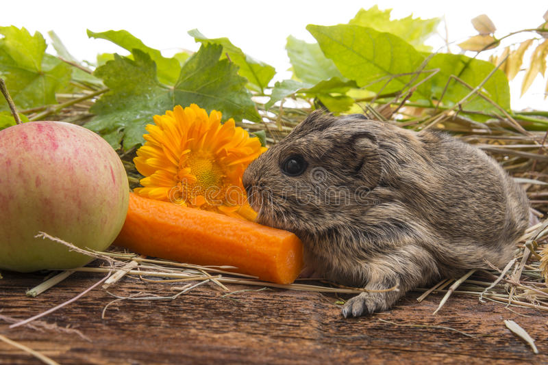 Cute baby of guinea pig royalty free stock photography