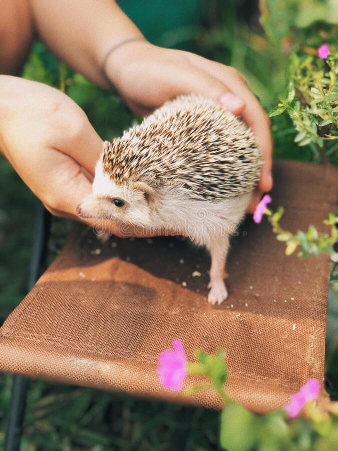 The cute baby Hedgehog. The cute baby Hedgehog is very friendly with people without any defense stock photo