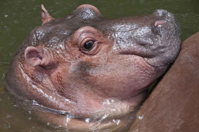 Download A cute baby hippo. stock image. Image of hippo, huge - 11036273