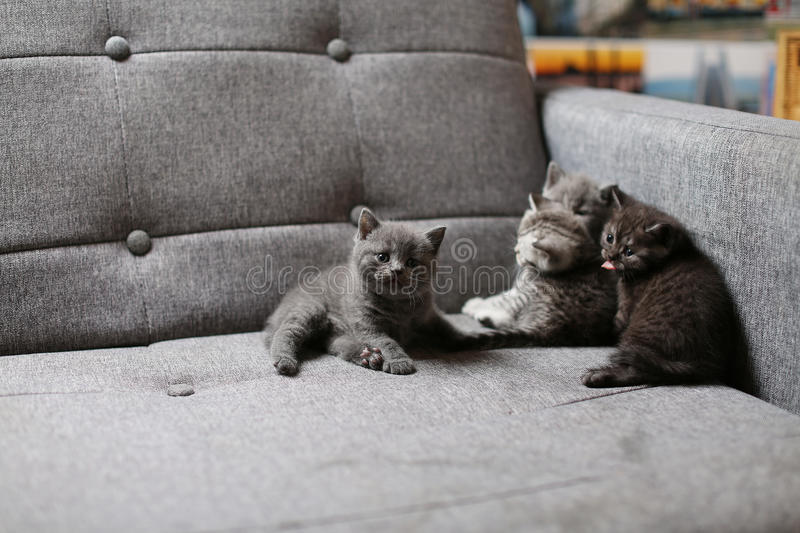 Cute baby kitten. Cute British Shorthair baby sitting on the couch royalty free stock photos