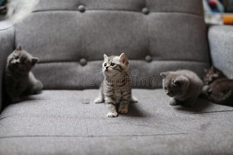 Cute baby kitten. Cute British Shorthair baby sitting on the couch royalty free stock images