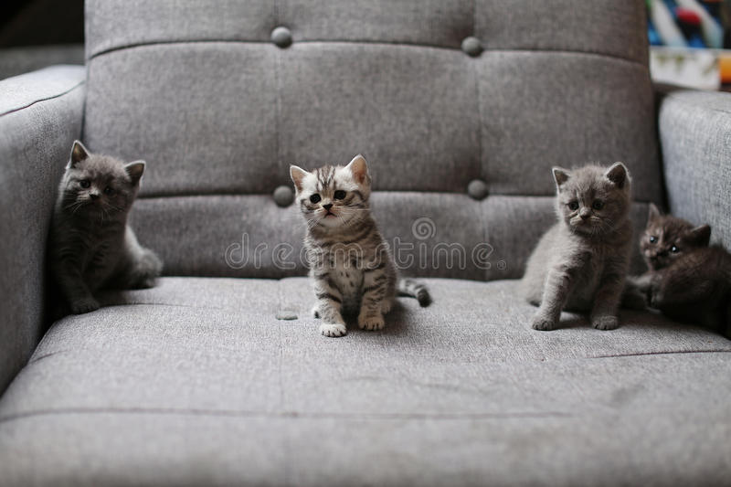Cute baby kitten. Cute British Shorthair baby sitting on the couch stock photos