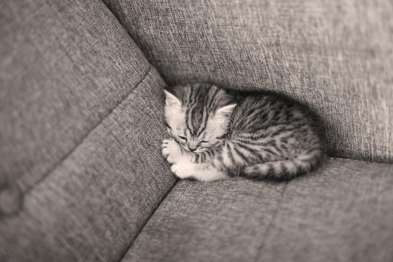Cute baby kitten. Cute British Shorthair baby sleeping on the couch royalty free stock photo