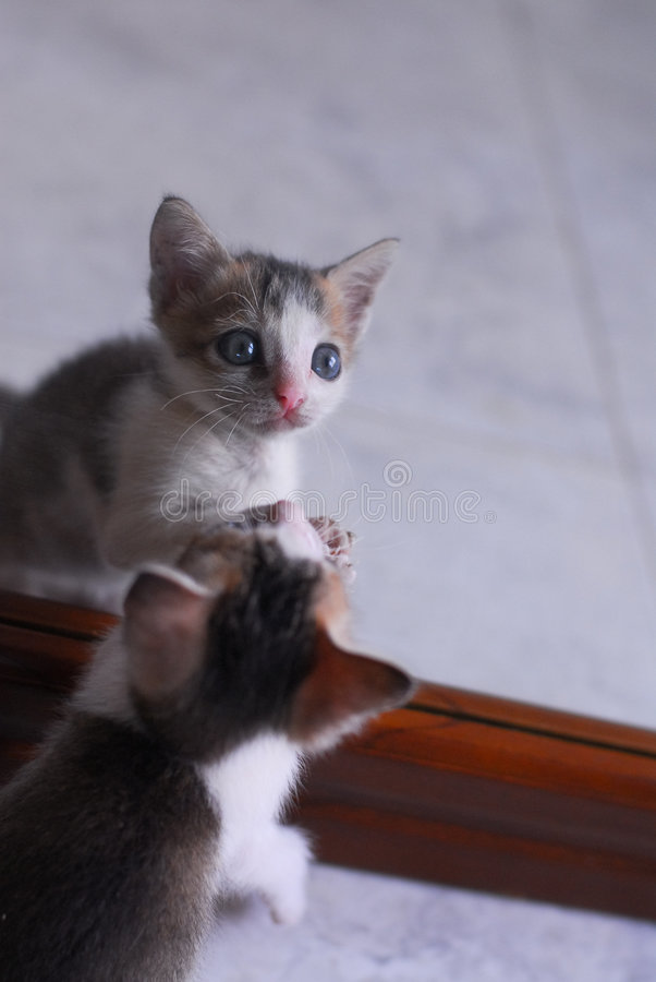 Cute baby kitten playing with mirror royalty free stock photo