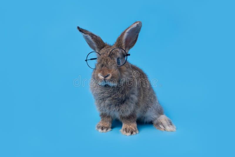Cute baby królik, szary brązowy Wielkanoc w okularach na niebieskim tle Koncepcja edukacyjna obrazy royalty free