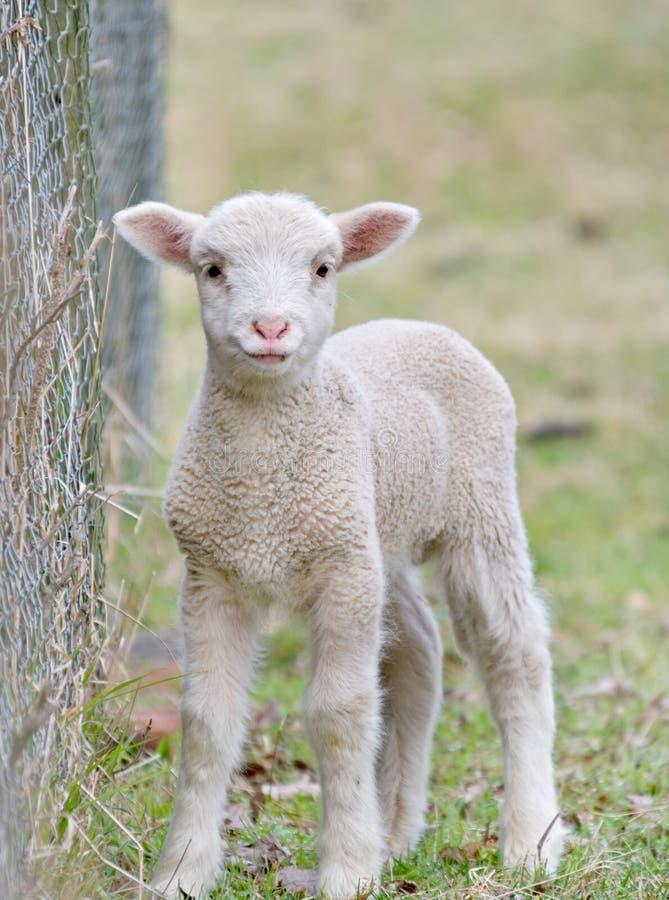 Cute baby lamb stock photos