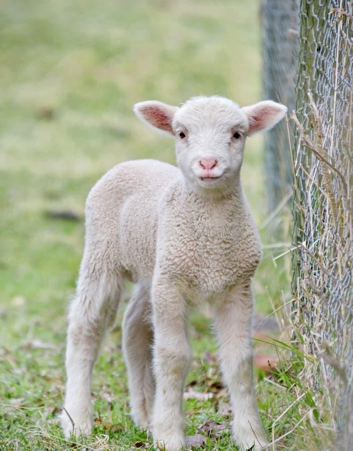 Free Cute Baby Lamb Stock Photos - 7760633