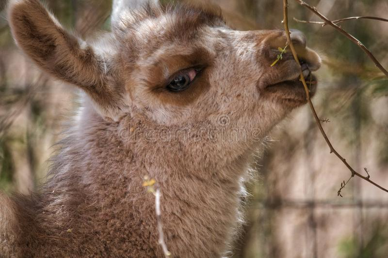 Cute baby llama looking sideways at camera. In a close up profile view of the head royalty free stock photos
