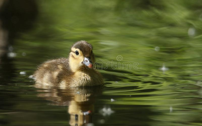 A cute baby Mandarin Duckling Aix galericulata swimming in a lake searching for food. A sweet baby Mandarin Duckling Aix galericulata swimming in a lake stock image