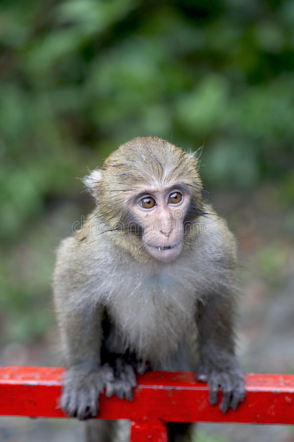 Cute baby monkey. Portrait of cute baby monkey outdoors with leafy green background stock photo