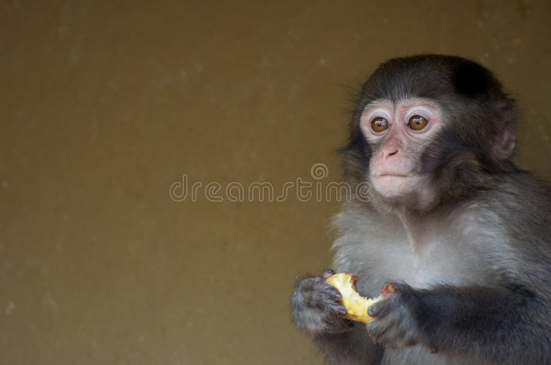 Download Cute baby monkey stock photo. Image of african, animals - 2337228