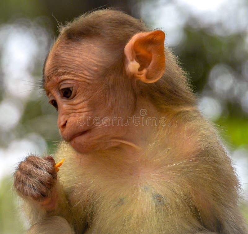 Cute baby Monkey Closeup. Closeup shot of cute baby monkey royalty free stock photography
