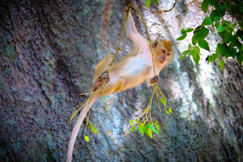 The cute baby monkey. On the tree is looking royalty free stock image