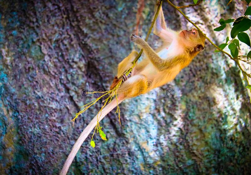 The cute baby monkey. On the tree is looking royalty free stock photos