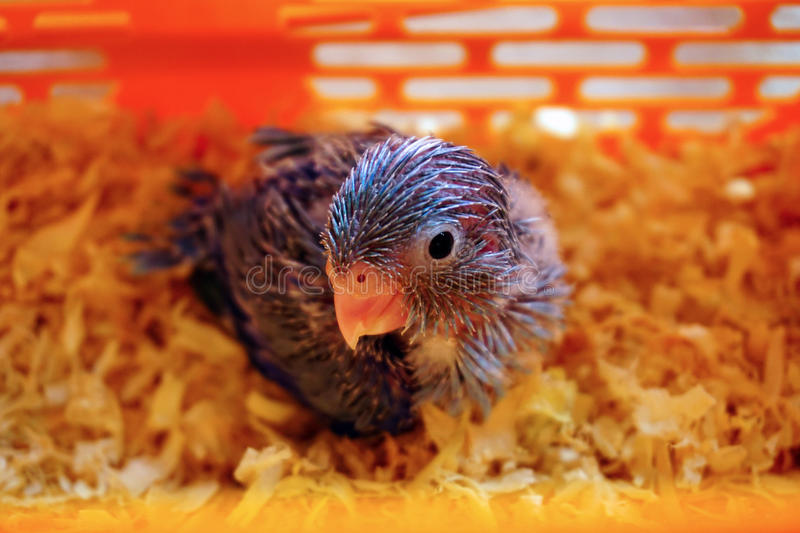 Cute Baby Pacific Parrotlet, Forpus coelestis bird. In the basket stock images
