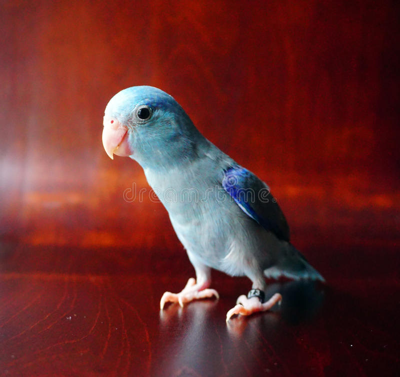 Cute Baby Pacific Parrotlet, Forpus coelestis. Looking around stock photography